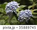 あじさい アジサイ 紫陽花の写真 35889745