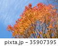 紅葉 植物 木の写真 35907395