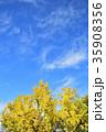 銀杏 葉 秋の写真 35908356