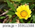 ガザニア 勲章菊 花の写真 35911388