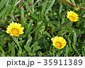 ガザニア 勲章菊 花の写真 35911389