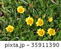 ガザニア 勲章菊 花の写真 35911390