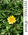 ガザニア 勲章菊 花の写真 35911392