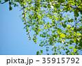 5月 カラマツと白樺の若葉 美瑛 35915792
