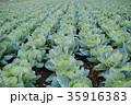 キャベツ畑 野菜畑 畑の写真 35916383