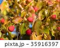 植物 ヤマボウシ 実の写真 35916397