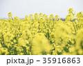 菜の花(北海道 安平) 35916863
