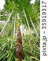 竹の子 35919317