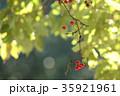 サンキライ 35921961