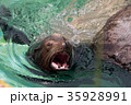 Close up of male California sea lion swimming 35928991