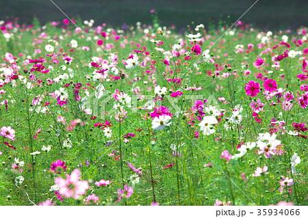 コスモス(秋桜)  自然風景 35934066
