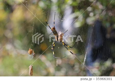 ミツバチを捕食するジョロウグモ(メス)03 35966301