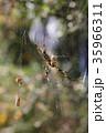 ジョロウグモ 雌 蜜蜂の写真 35966311