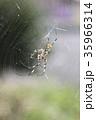 ジョロウグモ 雌 蜜蜂の写真 35966314