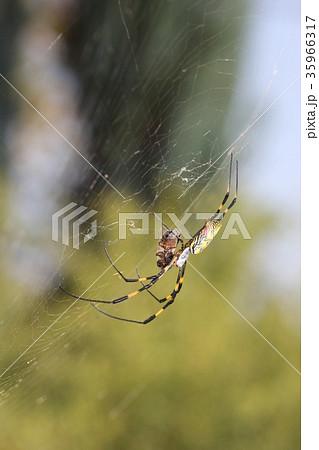 ミツバチを捕食するジョロウグモ(メス)06 35966317