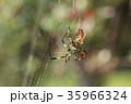 ジョロウグモ 雌 蜜蜂の写真 35966324
