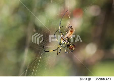 ミツバチを捕獲するジョロウグモ(メス)02 35966324