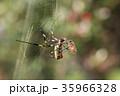 ジョロウグモ 雌 蜜蜂の写真 35966328