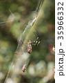 ジョロウグモ 雌 蜜蜂の写真 35966332