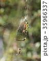 ジョロウグモ 雌 蜜蜂の写真 35966337