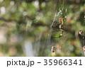 ジョロウグモ 雌 蜜蜂の写真 35966341