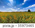 ひまわり畑 35973465