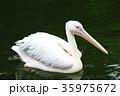 ペリカン 鳥 水鳥の写真 35975672