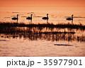 野付半島の夕焼けとハクチョウ(北海道) 35977901