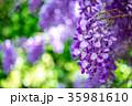 パープル 紫 紫色の写真 35981610