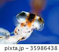 デメキン 観賞魚 淡水魚の写真 35986438