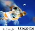 デメキン 観賞魚 淡水魚の写真 35986439