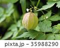 フウセンカズラ 実 植物の写真 35988290