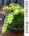 苔 盆栽 植物の写真 35991284