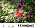 もみじ 落ち葉 苔の写真 35996095