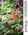 もみじ 落ち葉 苔の写真 35996096