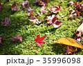 もみじ 落ち葉 苔の写真 35996098