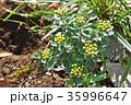 イソギク 磯菊 蕾の写真 35996647