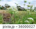 韮 花 植物の写真 36000027