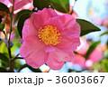 サザンカ 山茶花 ツバキ科の写真 36003667