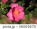 サザンカ 山茶花 ツバキ科の写真 36003670