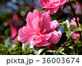 サザンカ 山茶花 ツバキ科の写真 36003674