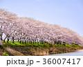 桜並木(太田川桜堤) 36007417
