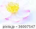 サザンカ 花 花びらの写真 36007547