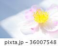 サザンカ 花 花びらの写真 36007548