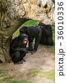 類人猿 チンパンジー さるの写真 36010336