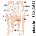 腰椎から膝蓋骨まで(名称入り) 36013653