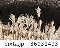 すすき 薄 秋の写真 36031493
