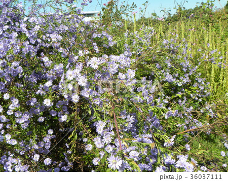 花の色が紫色の菊はクジャクアスター 36037111
