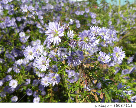 花の色が紫色の菊はクジャクアスター 36037113