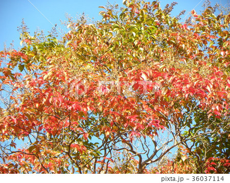綺麗に色付いたケヤキの紅葉 36037114